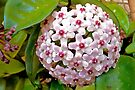 Hoya Carnosa by Margaret  Hyde