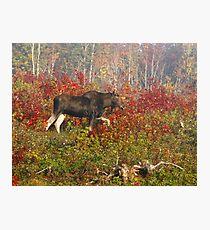 Maine Bull Moose  Photographic Print