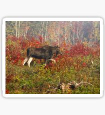 Maine Bull Moose  Sticker