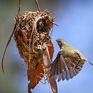 Weebill at nest by DaveBassett