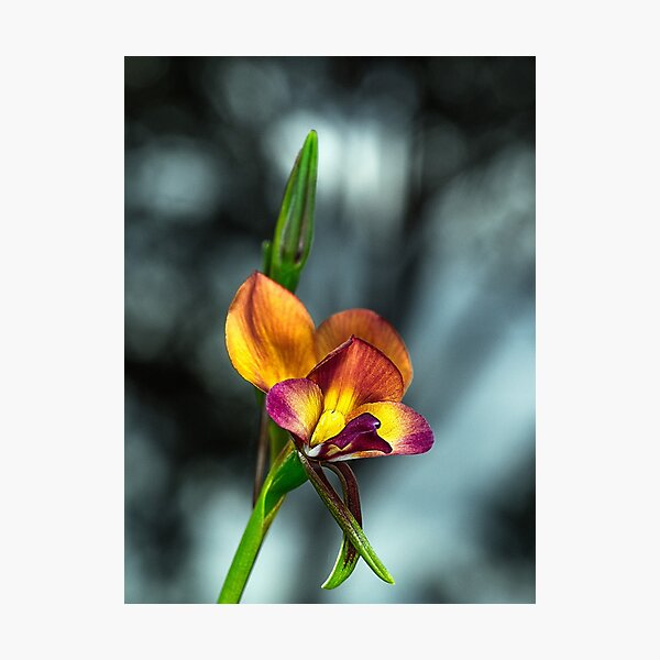 Darling Range Donkey Orchid Photographic Print