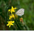 Butterfly on the dandelion by MariaNikelova