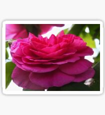 English David Austin Rose Gertrude Jekyll Sticker