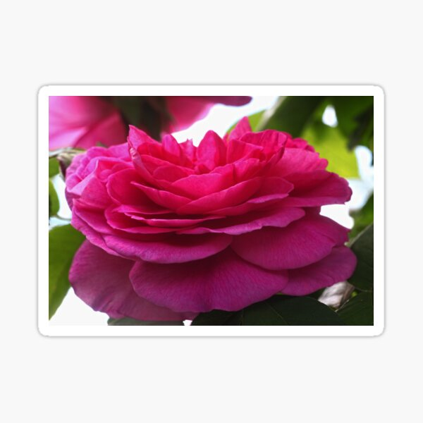 English Rose Gertrude Jekyll Sticker