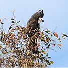 Red-Tailed Black Cockatoo, Edenhope, Victoria by Diana-Lee Saville