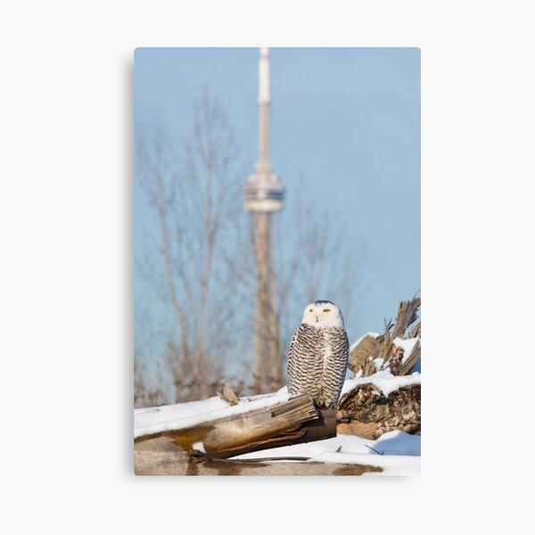 Snowy Owl in Toronto, Ontario Canvas Print