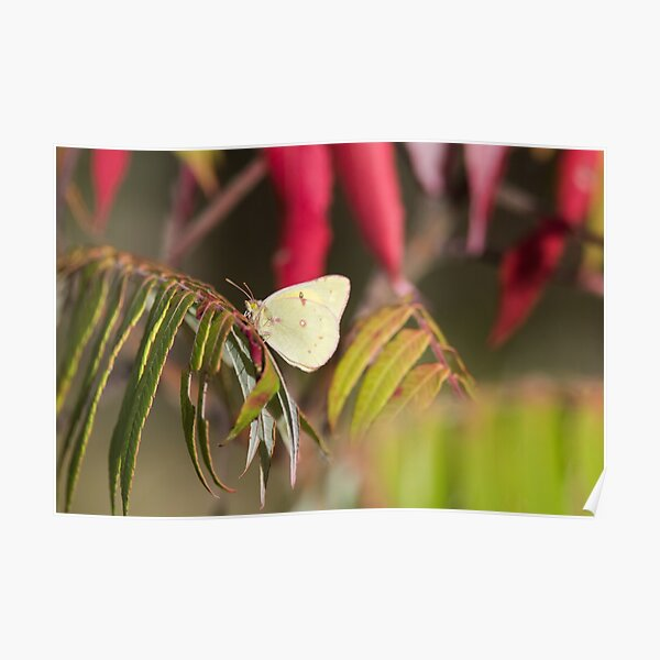Clouded Sulphur Butterfly With Autumn Leaves Poster