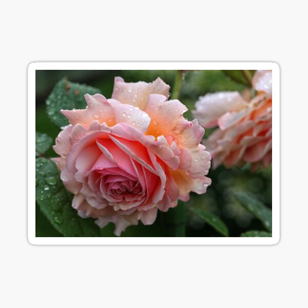 English Rose -  A Shropshire Lad Sticker