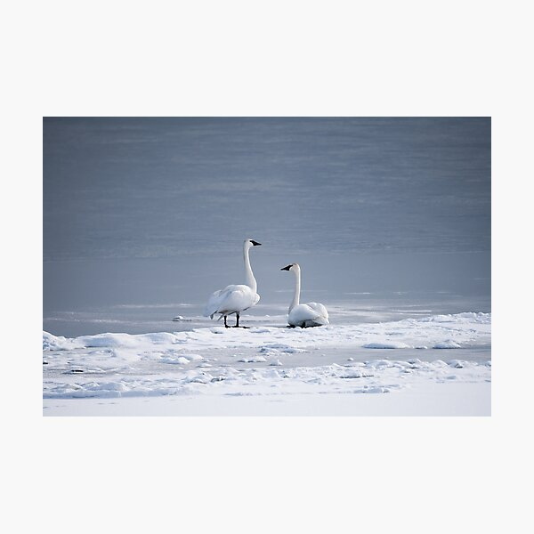 Trumpeter Swans Sitting On Frozen Lake Photographic Print
