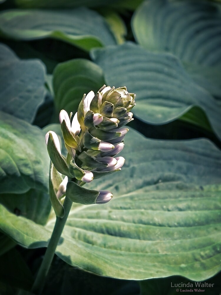 Hosta Party by Lucinda Walter
