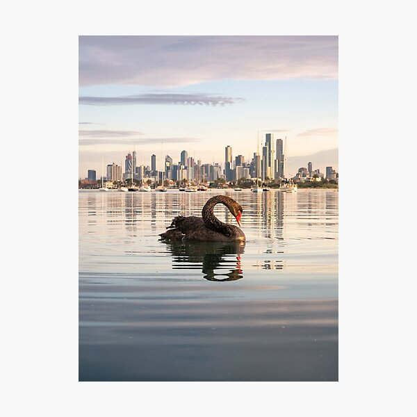 Melbourne Swan at St Kilda Pier Photographic Print