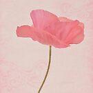 Single Pink Upright Poppy  by Sandra Foster