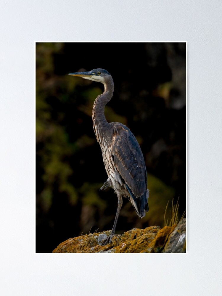 Alternate view of Great Blue Heron Poster