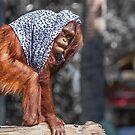 Orangutan by Edvin  Milkunic