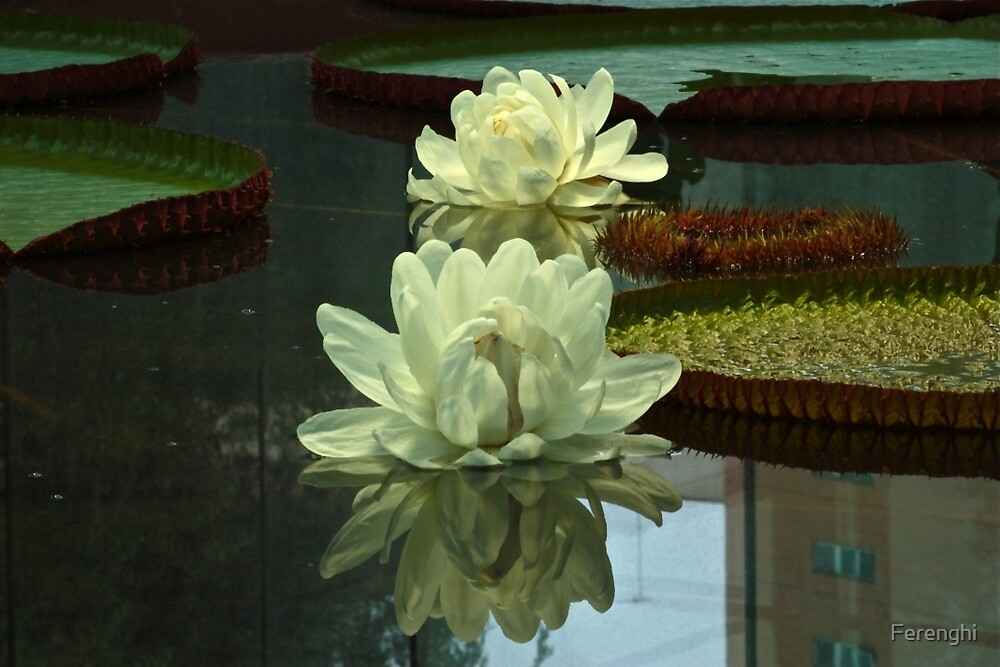 Twin Amazon Waterlily Flowers by Ferenghi