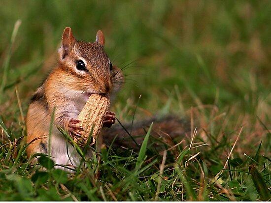 Chipmunk enjoying lunch by Enola Wagner