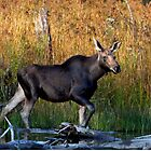 Maine Moose, yearling bull by Enola Wagner