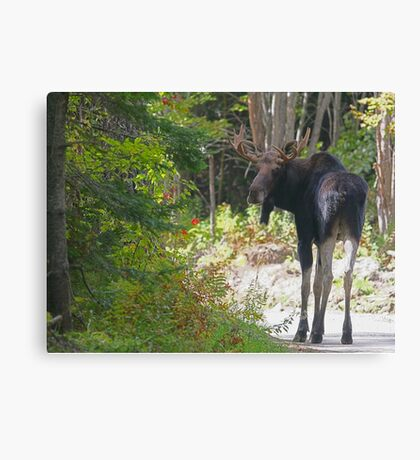 Maine Moose bull Canvas Print