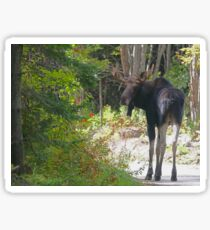 Young Maine Moose bull Sticker