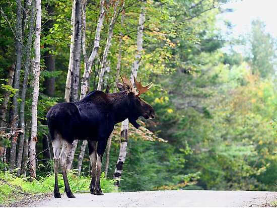 Maine bull Moose by the birches by Enola Wagner