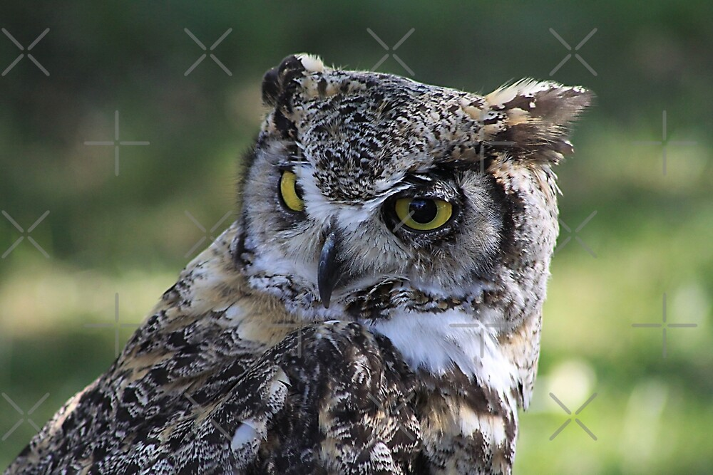 Great Horned Owl  by Alyce Taylor
