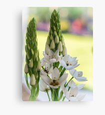Weiße Sternblume - Ornithogalum 3 Leinwanddruck