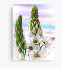 Weiße Sternblume - Ornithogalum 4 Leinwanddruck