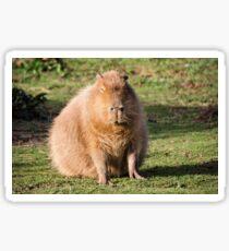 Capybara stare Sticker