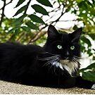 Tuxedo Cat Of Jerome Arizona by K D Graves Photography