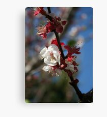 Sunlight Embracing Apricot Blossom Canvas Print