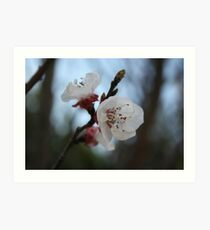 Close Up Apricot Blossom In Pastel Shades Art Print