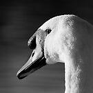 Mute Swan by KarenMcWhirter