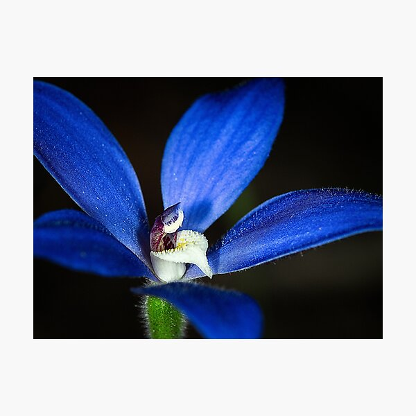 Blue China Orchid Photographic Print
