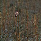 Short Eared Owl by M S Photography/Art