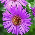 Purple Asters by teresa731