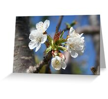 Cherry Blossom In Spring Sunlight Greeting Card