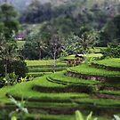 A Balinese Rice Field by Raquel Fletcher