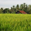 The Rice Fields by Raquel Fletcher