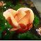 *Avatar/Rose-Bud - Enchanted Flowers*
