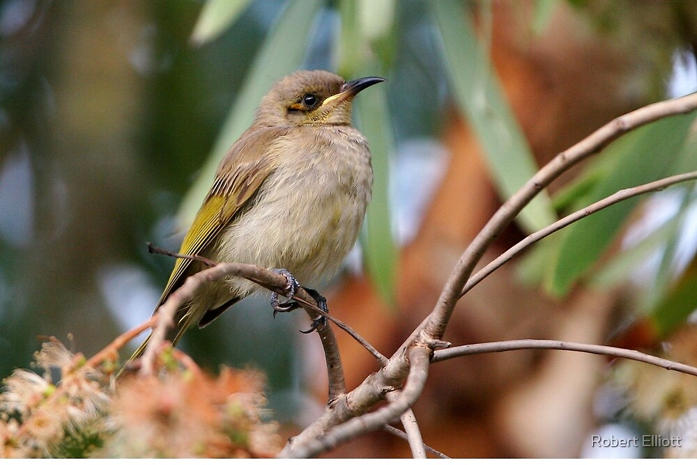 "Brown Honeyeater ~ Just another ""little brown bird""   by Robert Elliott"