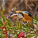Eastern Spinebill by Robert Elliott