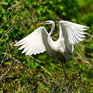 Egret In Evenings Light by Kathy Baccari