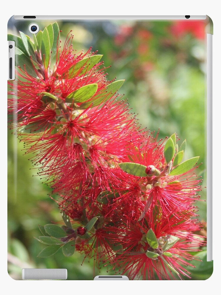 Calliandra Haematocephala Red Powderpuff by taiche