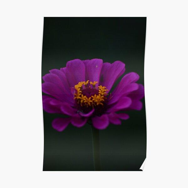 Purple Zinnia Poster