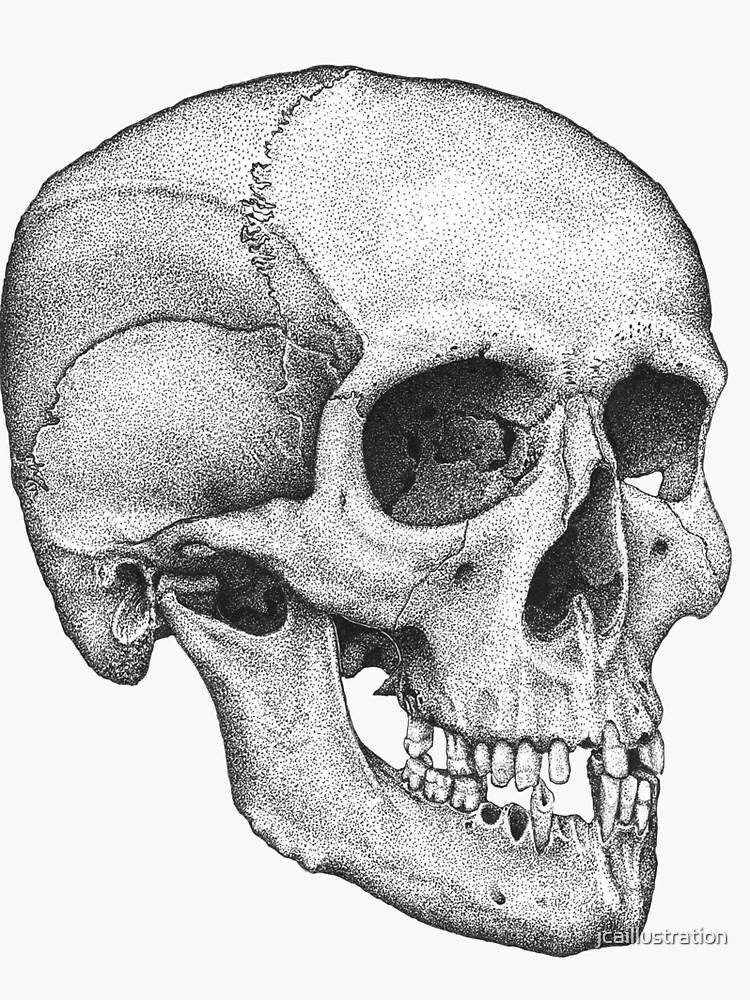 Human Male Skull by jcaillustration