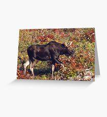 Maine Bull Moose  Greeting Card
