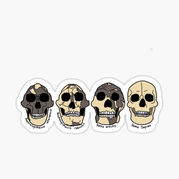 Hominid Skull Evolution Sticker Sticker