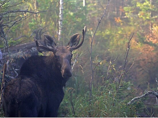 Maine Bull Moose in the woods at dawn by Enola Wagner