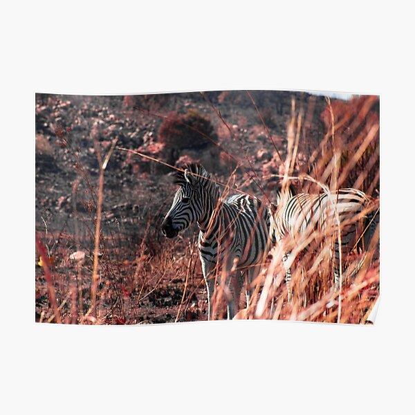 Elegance, nature (zebra) Poster