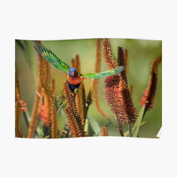 Rainbow Lorikeet Taking Flight Off Aloe Flowers Poster